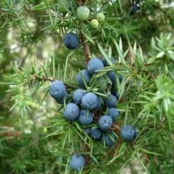 Етерично Масло Хвойна /Juniperus Communis/