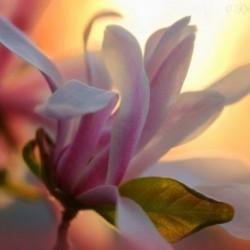 Парфюм MP04 Delicate Magnolia