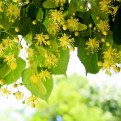 Парфюм MP06 Sunshine linden Blossom